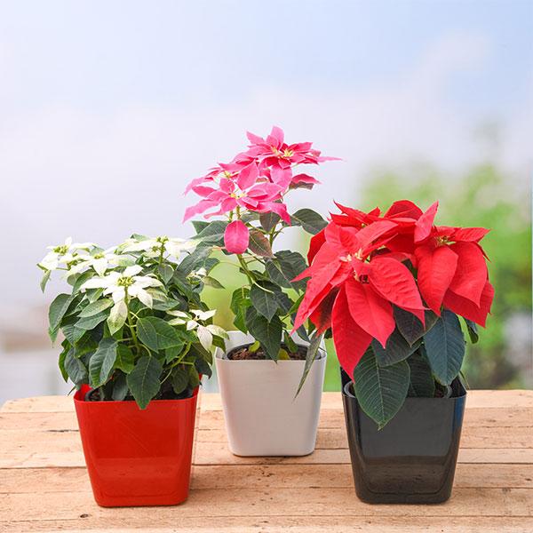 Online Christmas Flower